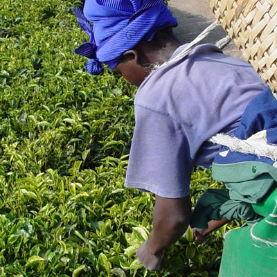 Tea Buying and Export